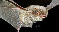 V nandrážskych baniach sa zdržiava Lietavec sťahovavý, ktorý  je najrýchlejším netopierom žijúcim na Slovensku