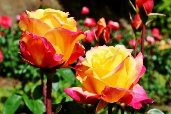 Využite nastávajúci víkend na dvojdňovú Slávnosť ruží v kaštieli v Dolnej Krupej