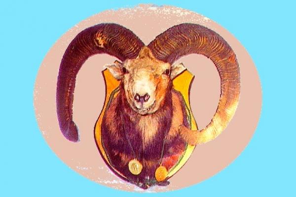 Vysoko zlatý muflón pochádzal z Plešivskej planiny. V tom čase štvrtá najsilnejšia trofej na svete a prvá na Slovensku