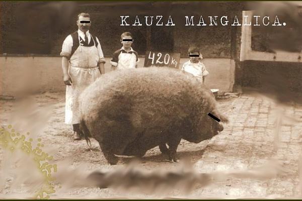 Kauza mangalica - o histórií  a  súčasnosti jedného z najpozoruhodnejších plemien ošípaných na svete